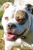 Bulldog. A very cute and handsome bulldog Royalty Free Stock Photography