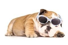 Bulldog in vetri fotografia stock libera da diritti