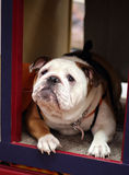 Bulldog waiting for a kiss. An English Bulldog waiting for a kissing in a fundraising kissing booth royalty free stock image
