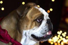 Bulldog waiting for Santa Clause Royalty Free Stock Photos