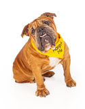 Bulldog Wearing Adopt Me Bandana Royalty Free Stock Image