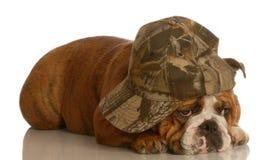 Bulldog wearing ball cap Stock Image