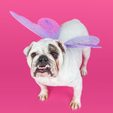 Bulldog Wearing Butterfly Wings. English Bulldog on a pink color studio background wearing purple butterfly wings stock photography