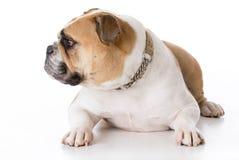Bulldog wearing collar Stock Images