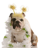 Bulldog wearing funny costume Stock Photos