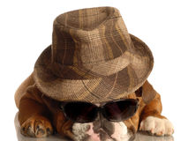 Bulldog wearing hat and glasses Royalty Free Stock Photo
