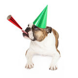 Bulldog Wearing Party Hat Blowing Horn Stock Images