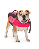 Bulldog Wearing Pink Life Vest Stock Photos