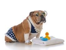 Dog wearing a bikini. Bulldog wearing a polka dot bikini on white background Royalty Free Stock Images