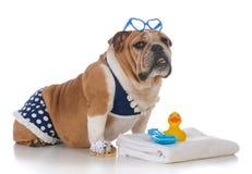 Dog wearing a bikini. Bulldog wearing a polka dot bikini on white background Stock Photo