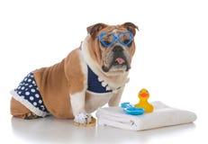 Dog wearing a bikini. Bulldog wearing a polka dot bikini on white background Royalty Free Stock Photography