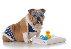 Dog wearing a bikini. Bulldog wearing a polka dot bikini on white background Royalty Free Stock Photo