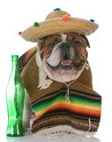 Dog dressed like a mexican. Bulldog wearing a poncho and sombrero on white background royalty free stock image