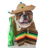 Dog dressed like a mexican. Bulldog wearing a poncho and sombrero on white background stock image