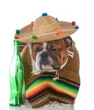Dog dressed like a mexican. Bulldog wearing a poncho and sombrero on white background stock photos