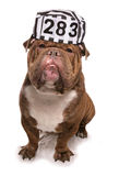 Bulldog wearing a prisoners hat Royalty Free Stock Photos
