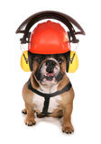 Bulldog wearing protective workwear hat Royalty Free Stock Photography