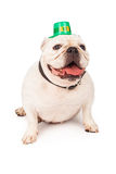 Bulldog Wearing St. Patricks Day Hat. Bulldog sitting against a white background wearing a green St. Patrick's Day hat stock images