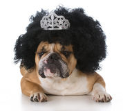 Bulldog wearing a wig Stock Image