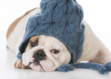 Bulldog wearing winter hat Royalty Free Stock Images
