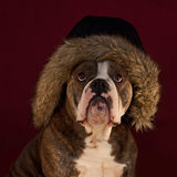Bulldog whid hairy hat Stock Images