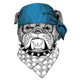 Bulldog Wild animal wearing bandana or kerchief or bandanna Image for Pirate Seaman Sailor Biker Motorcycle Stock Photos