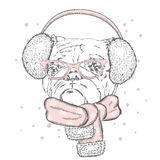 Bulldog in winter headphones. Cute puppy. Pedigree dog. Winter holiday Stock Photography