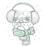 Bulldog in winter headphones. Cute puppy. Pedigree dog. Winter holiday Royalty Free Stock Images