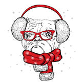 Bulldog in winter headphones. Print on clothes. Cute puppy. Pedigree dog. Winter holiday Royalty Free Stock Photo