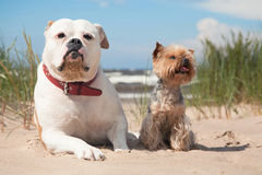 Bulldog and yorkshire terrier Stock Images