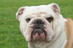 bulldogg arkivbild