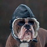 Bulldogg as a pilot Royalty Free Stock Images