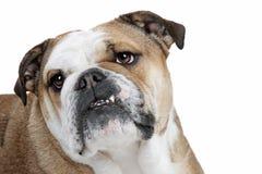 bulldogg framme av en vit bakgrund Royaltyfria Bilder