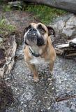 Bulldogg i liten vikståenden arkivbilder