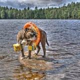 Bulldogg i sjön med floaties på i HDR arkivfoton