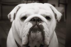 Bulldogg i svartvitt Arkivbilder