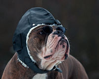 Bulldogg jako pilot Obrazy Stock