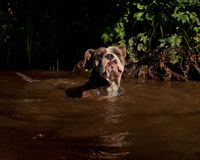 Bulldogg jump in a river Stock Images