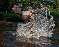 Bulldogg jump in a river Royalty Free Stock Photos
