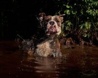 Bulldogg jump in a river Royalty Free Stock Image
