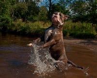 Bulldogg jump in a river Royalty Free Stock Photo