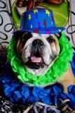Bulldogg på karnevalet Arkivbild