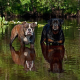 Bulldogg and Rottweiler on a river Stock Image