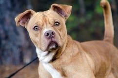 Bulldogg Shar Pei Mixed Breed Adoption Portrait Arkivfoton