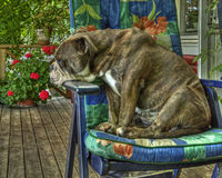 Bulldogg sitting dormant in a garden chair in HDR Stock Photos