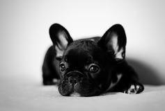 bulldogg som dagdrömmer den franska valpen Arkivbild