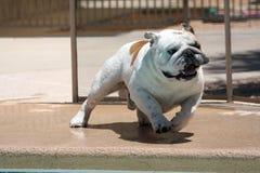 Bulldogg som kör runt om pölen royaltyfri bild