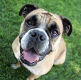 Bulldogg som ler i gräset royaltyfria bilder