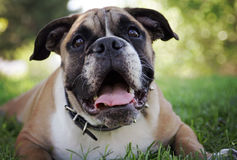 Bulldogg som ligger i gräset arkivfoto