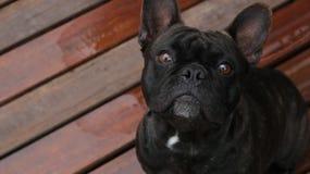 Bulldogg som ser till kameran royaltyfri foto